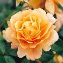 予約苗 バラ苗 万葉(まんよう) 国産大苗6号スリット鉢フロリバンダ(FL) 四季咲き中輪 オレンジ