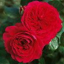 バラ苗 レッドレオナルドダビンチ 国産大苗6号スリット鉢フロリバンダ(FL) 四季咲き中輪 シュラブローズ 赤系