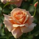バラ苗 アプリコットキャンディ 国産大苗6号スリット鉢ハイブリッドティー(HT) 四季咲き大輪 オレンジ系