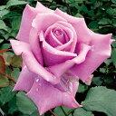 バラ苗 藤娘(ふじむすめ)国産大苗6号スリット鉢 ハイブリッドティー(HT) 四季咲き大輪 紫系