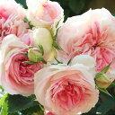 バラ苗 アミロマンティカ 国産大苗6号スリット鉢つるバラ(CL) 四季咲き 中輪 複色系