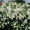 バラ苗 アルバメイディランド 国産大苗6号スリット鉢修景用 返り咲き小輪 白系