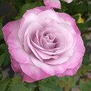 予約苗 バラ苗 ライラックビューティ 国産大苗裸苗ハイブリッドティー(HT) 四季咲き大輪 ピンク系