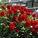 バラ苗 ウルメールムンスター 国産大苗6号スリット鉢つるバラ(CL) 四季咲き 赤系