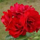 バラ苗 クリムゾンスカイ 国産新苗4号ポリ鉢つるバラ(CL) 四季咲き 赤系