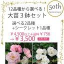 【送料無料】12品種から選べる!バラ大苗3鉢セット バラ苗/同梱不可