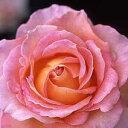 バラ苗 エル 6号鉢ハイブリッドティー (HT) 四季咲き大輪 ピンク系【12月上旬から発送】