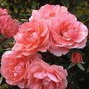 バラ苗 ジャルダンドゥフランス 国産大苗6号スリット鉢フロリバンダ(FL) 四季咲き中輪 ピンク系