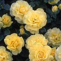 黄色いバラの花 フロリバンダ・ローズ ミラベラ