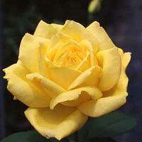 黄色いバラの花 ハイブリッド・ティ・ローズ ローズ・ヨコハマ