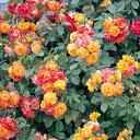 バラ苗 ふれ太鼓 つるバラ(CL)6号鉢 四季咲き オレンジ赤系【バラ】【バラ苗】【12月上旬から発送】 10P_0217