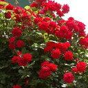 【訳あり】苗B バラ苗 アンクルウォルター 6号スリット鉢つるバラ(CL) 四季咲き 赤系