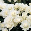 【アウトレット】苗B バラ苗 つるアイスバーグ 6号スリット鉢つるバラ(CL) 返り咲き中輪 白系
