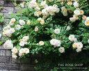 【アウトレット】苗B バラ苗 バフビューティー 6号スリット鉢つるバラ(CL) 返り咲き オレンジ系