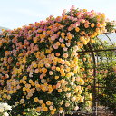 バラ苗 サハラ'98 国産大苗6号スリット鉢つるバラ(CL) 四季咲き 黄色系