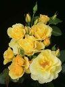 つるバラ 黄色 画像