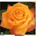 バラ苗 クリスエバート ウィークスローズハイブリッドティー 大苗7号鉢 四季咲き大輪 オレンジ系【バラ】【バラ苗】