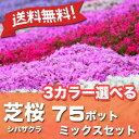 【送料無料】シバザクラ芝桜3カラー選べる75ポットミックスセット