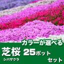 シバザクラ芝桜カラー選べる【25ポットセット】