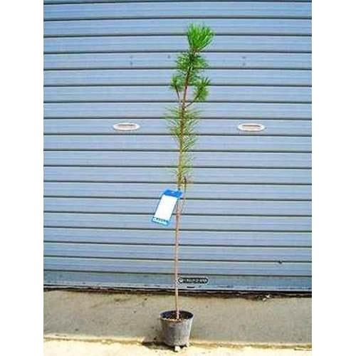 クロマツ 樹高1.0m前後 【10本セット】 雄松 和風 庭園