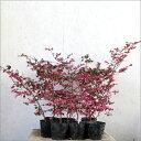 ベニバナトキワマンサク(赤葉)樹高50〜60cm前後【10本セット】