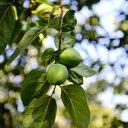 柿 黒実柿 (クロミガキ)・禅寺丸 (ゼンジマル) 樹高80cm前後 受粉樹2本セット
