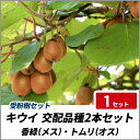 キウイ 香緑(メス)・トムリ(オス) 樹高80cm前後 【交配品種2本セット】