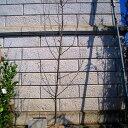 リンゴ アルプス乙女 樹高1.8〜2.0m前後 (根鉢含まず)