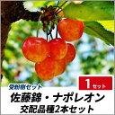 サクランボ 佐藤錦・ナポレオン 樹高80cm前後 【交配品種2本セット】