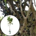 ジャボチカバ苗 (小葉種)接木苗