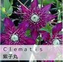 クレマチス【苗】フロリダ紫子丸紫系