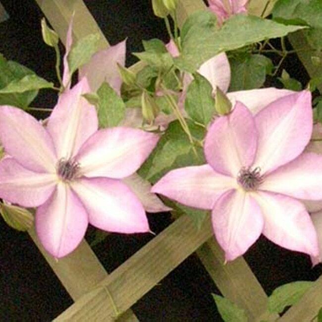 クレマチス 苗 フロリダ ユートピア 紫系