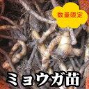 【ミョウガ】陣田早生 みょうが 種 苗 約300g【充填時】【店長おすすめ】【お届け中】