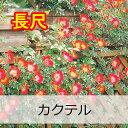 即納【バラ長尺苗】京成バラ園 カクテル 大苗