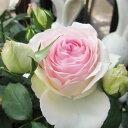 【バラ苗】 メイアン ピエール ドゥ ロンサール 大苗 6号鉢 ピンク系 CL【花終わりの為、特価】