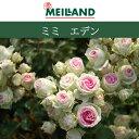 【バラ苗】 京成バラ園 メイアン ミミエデン  大苗 7号鉢 ピンク系 FL