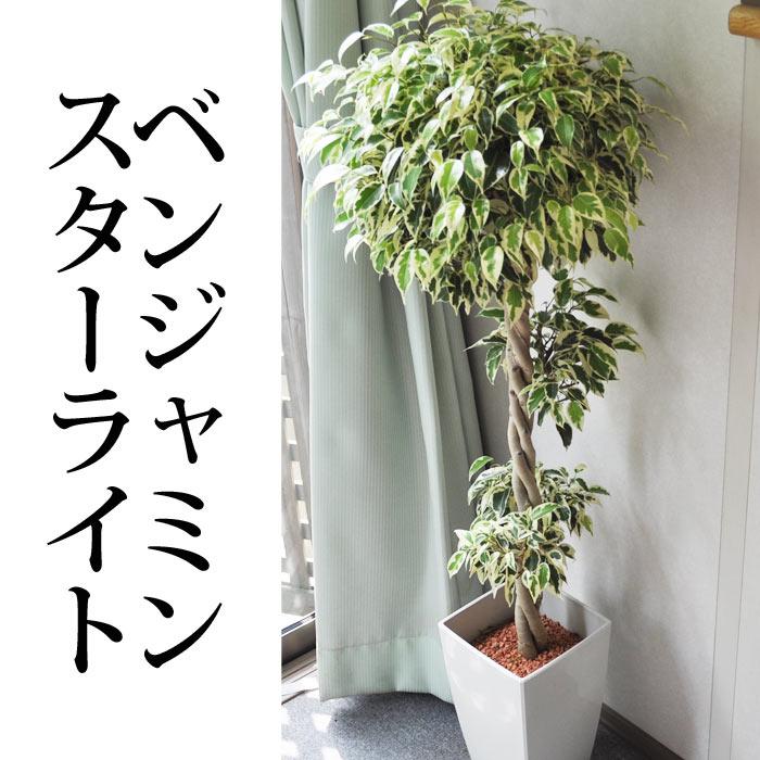 【観葉植物】夏には涼やかな雰囲気 ベンジャミン スターライト「ビューティークイーン」 【ギフト】【特苗】