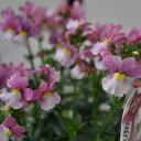 【多年草】ハルディン ネメシア メロウ ミルキーピンク マウンド 2017予約苗