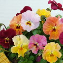 【予約販売】【花苗】 ビオラ おちあいけいこ 花絵本 ミニマンゴー