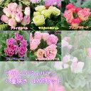 【プリムラ】プリムラジュリアン バラ咲き 八重咲き 4POTセット 選べる5色 【苗】【予約受付中】