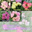 【プリムラ】プリムラジュリアン バラ咲き 八重咲き 5品種×各1POT【苗】【予約受付中】