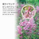 ライラックピンクパフューム 四季咲き