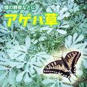 アゲハチョウの餌 アゲハソウ アゲハ蝶 飼育1POT