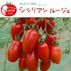 野菜苗 ミニトマト シシリアンルージュ 苗 1POT【予約苗】【納期指定不可】