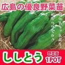 野菜苗 トウガラシ ししとう 実生 1POT【予約苗】【納期指定不可】