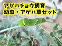 アゲハチョウ飼育(幼虫・アゲハ草)セット【予約販売】【納期指定不可】