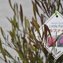 【常緑樹】ドドナエア リトルファイヤー 12センチロングポット
