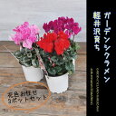 【花苗】 軽井沢育ち ガーデンシクラメン シングルカラー3苗セット