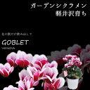 【花苗】 軽井沢育ち ガーデンシクラメン ゴブレット