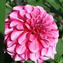 レア ダリア鉢植え8号販売  雛あそび(小輪)やまきのダリア 【S】【AN】【S】【1株】